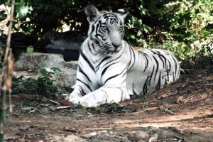 The White Tiger